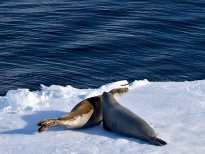seals on ice