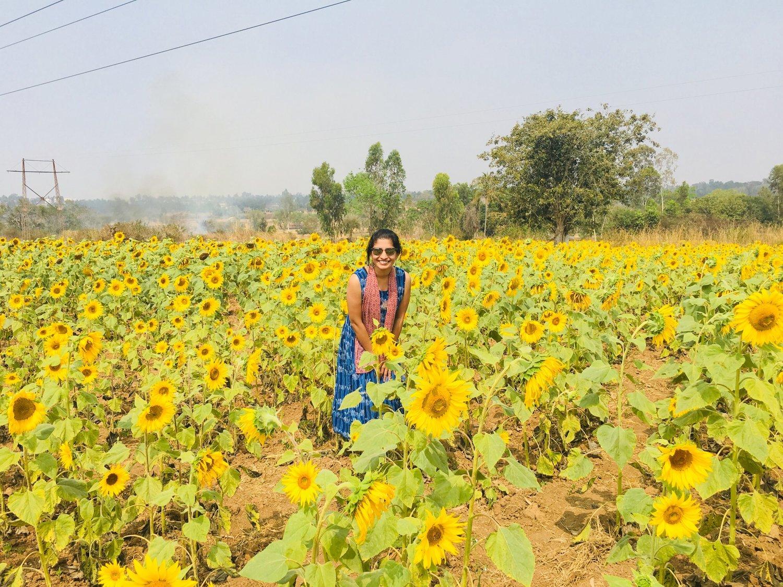 beautiful field of sunflowers